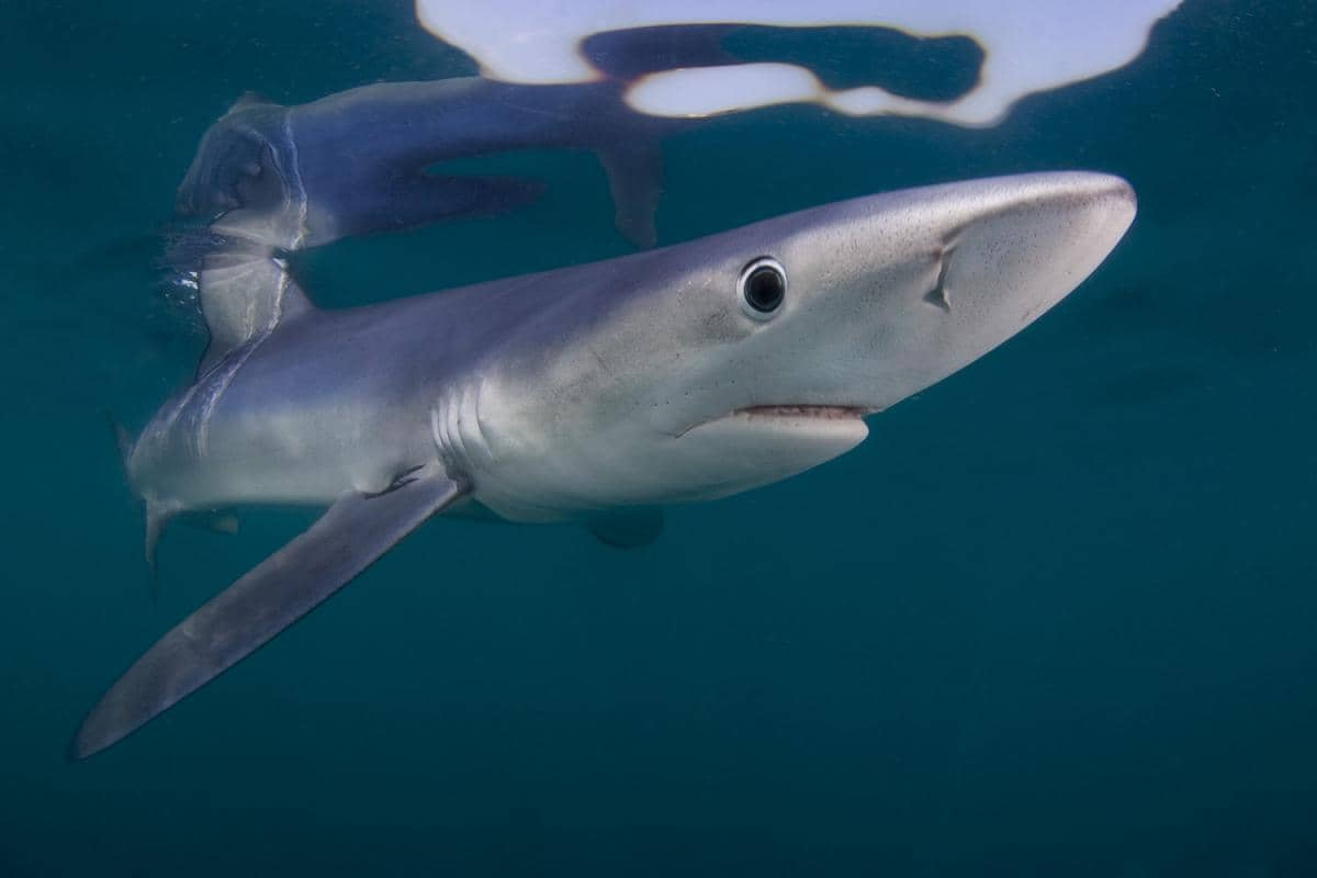 What Shark Species Live in Canada's Coastal Waters ...